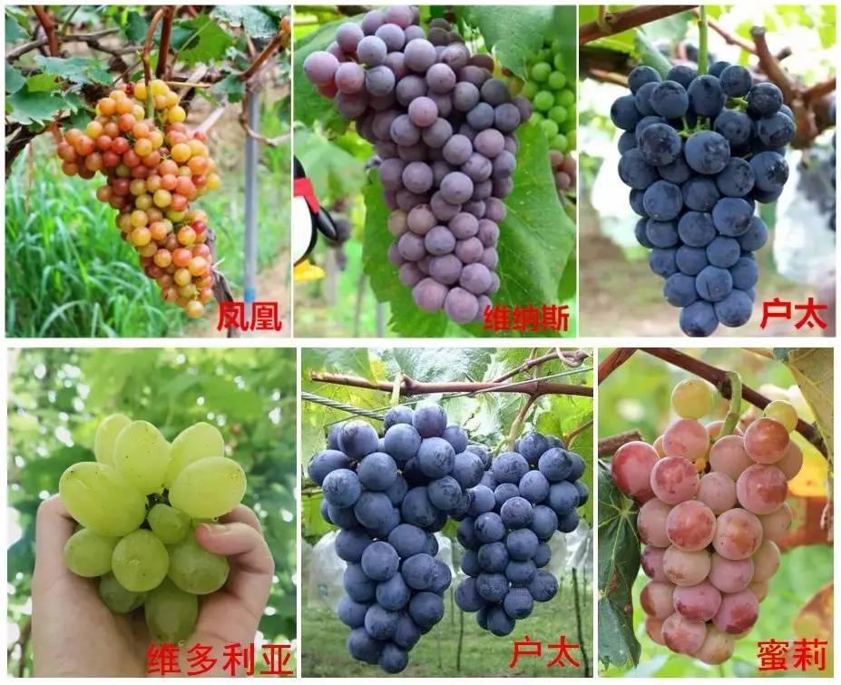 2017遂宁夏黑葡萄-有几亩红提就叫葡萄庄园,成都这些地方稀奇的葡萄5折摘到嗨