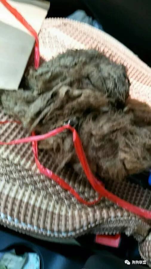 路边捡到一只泰迪,脏兮兮的像破布,两个月后变得不认识了