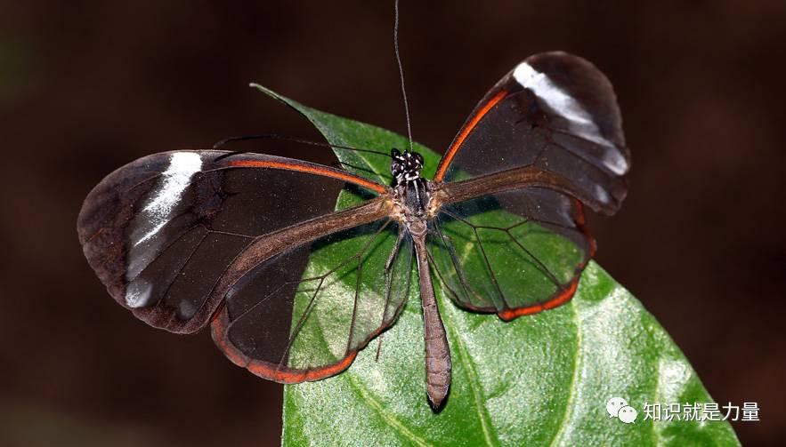 """活久见!现实版""""隐形的翅膀"""",这种蝴蝶的..."""