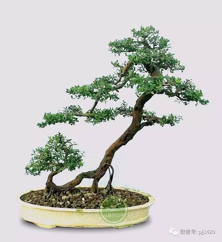 48例盆景树种,总有你喜欢的制作盆景素材 - 冬日暖陽 - 缘来如此心动