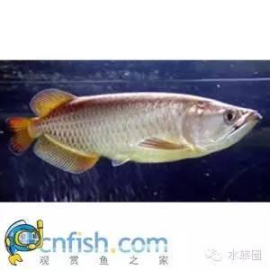 立达七彩过背金龙表现未来可期 龙鱼养殖知识 龙鱼饲料第5张