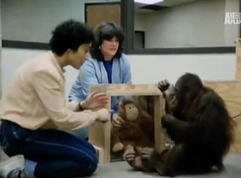 世界上唯一的大学毕业猩猩,却在牢里待了30年,最终抑郁而亡