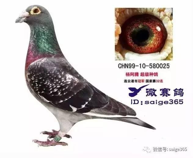 TOP5. 黑雨点   ,此类鸽子算是比较少的鸽子,但是只要出了这羽色鸽图片