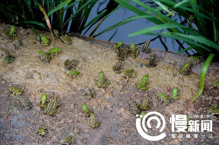 池塘边爬满了小青蛙-300多万元亏出来的重庆 蛙王 ,如今他的600万只