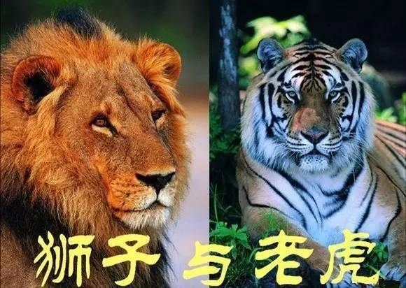 做梦梦到老虎和狮子_趣味百科|老虎和狮子到底谁更厉害?