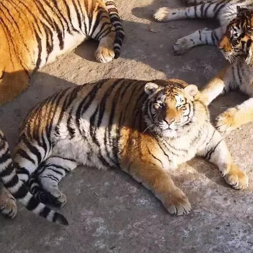你是不是虎_这真的不是怀孕,公虎也是这样!