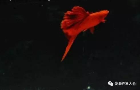 【每日一鱼】高鳍红箭鱼:高帆靓影,红红火火,一