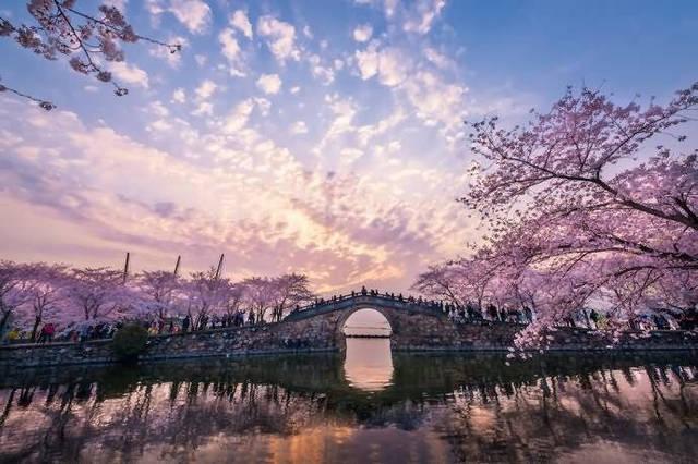 日本樱花_日本樱花 樱花是日本国花