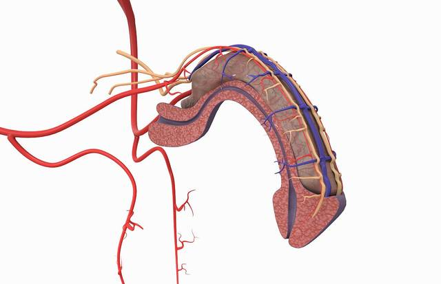 两条鸡巴_尿道海绵体位于两条阴茎海绵体的下方,因尿道从中贯穿通过而得名.