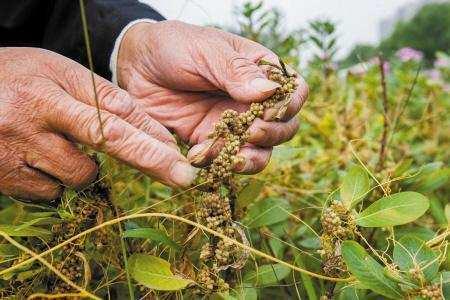 哪里有性爱种子_菟丝子的种子是中药,性味甘温,是归肝,肾,脾经,采摘好了种子之后将原