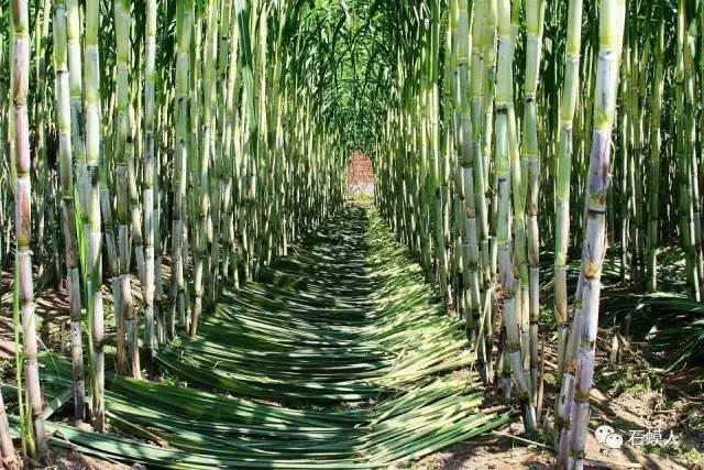 四川甘蔗_甘蔗种植面积达到800亩 几百年来, 津西片区,四川合江居民 提到甘蔗