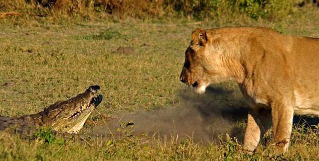 狮子咬死鳄鱼_巨鳄单挑狮群 混战15分钟后鳄鱼被活活咬死_搜狐文化_搜狐网