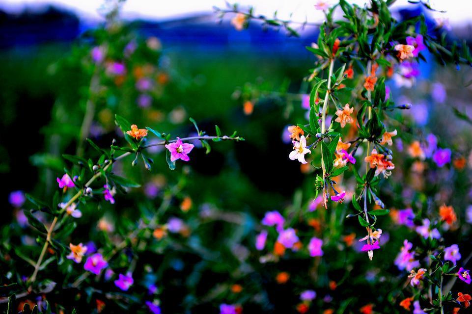 枸杞一般是蜂场的辅助蜜源,在它开花这段时间,比较稳产的芝麻棉花
