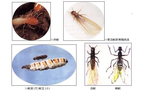 白蟻種類知多少?讓你一次看個夠