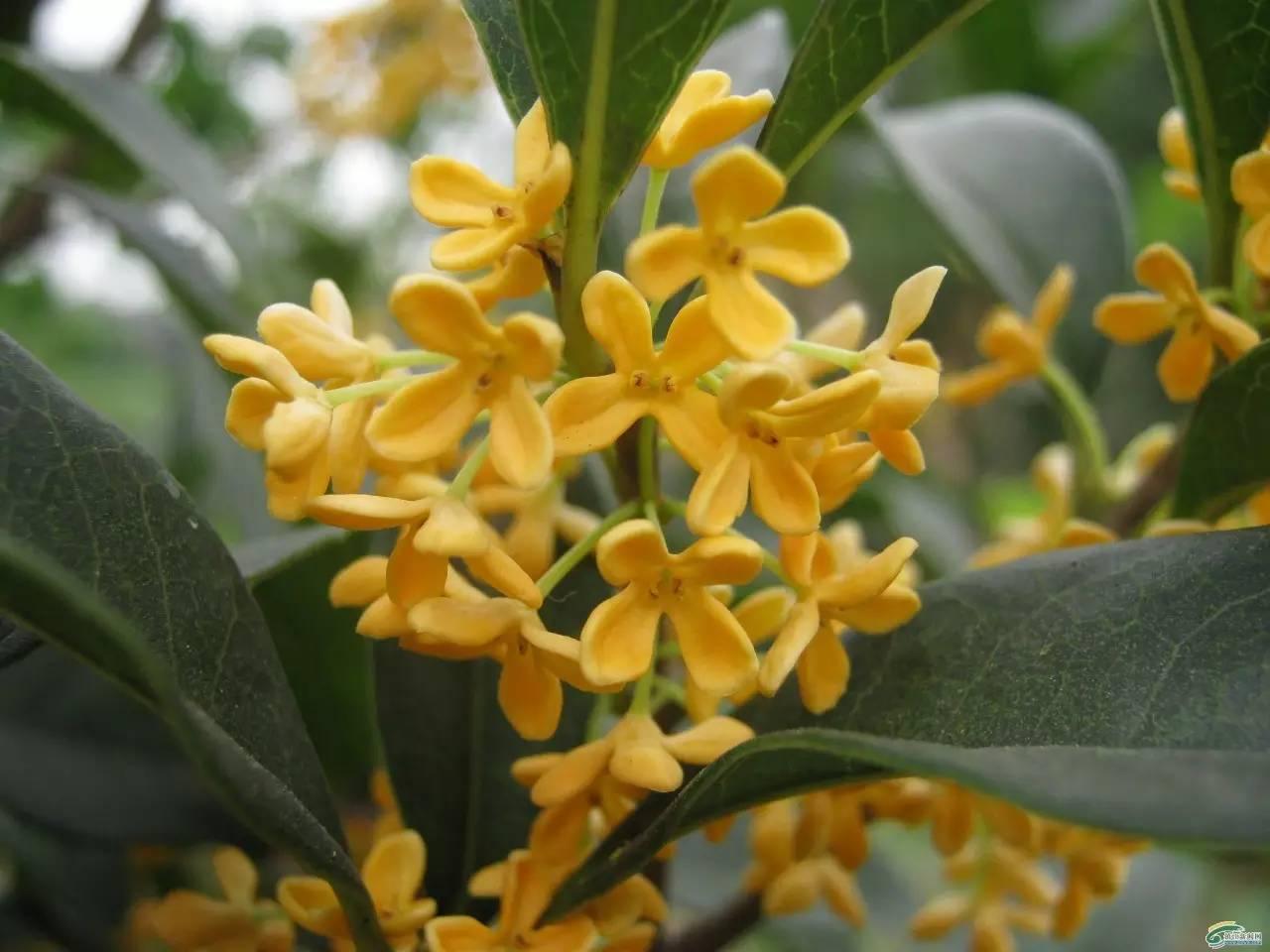 桂花新品种图片_桂花的种类那么多,哪个最好看呢?