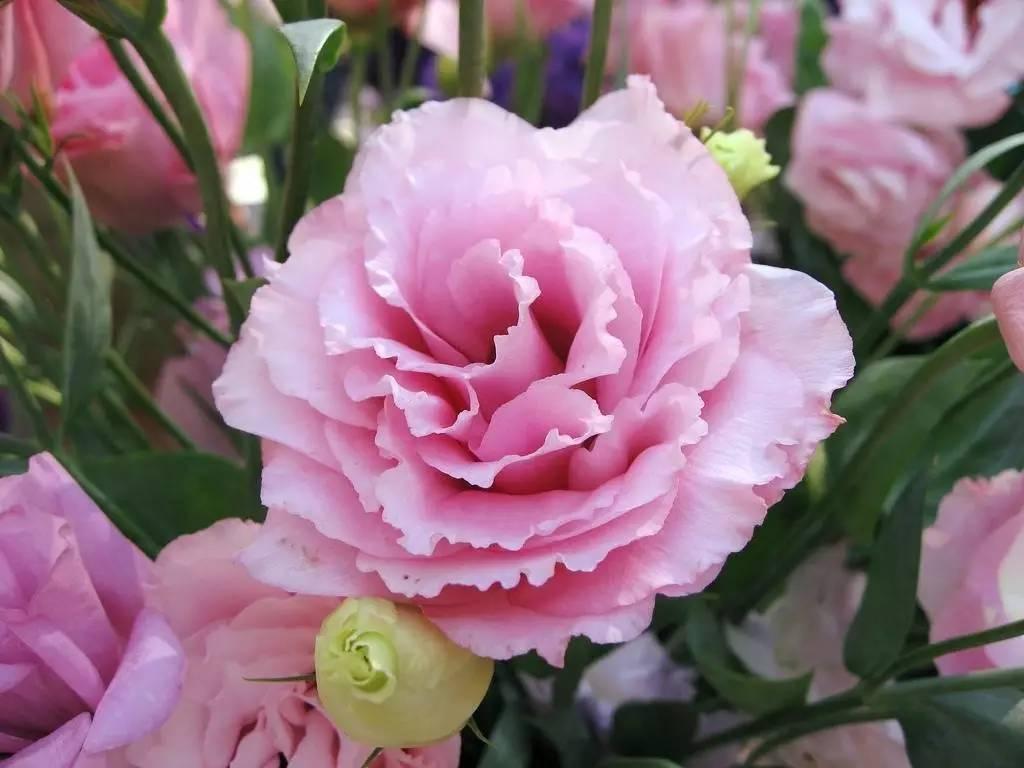 食用花卉与瓜果_食用花卉有哪些_花卉白描_园林花卉_金龙鱼食用调和油_泡泡安卓网