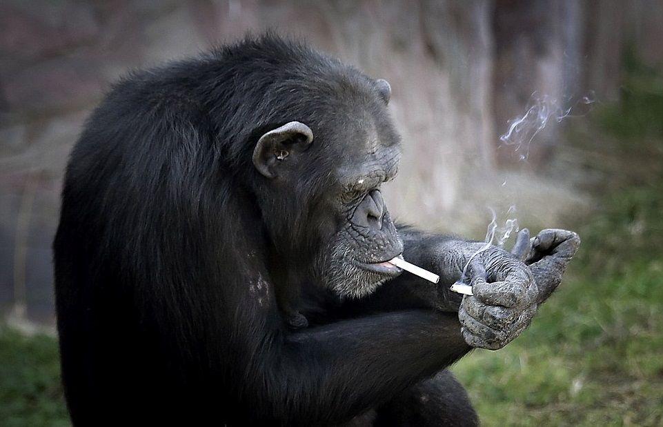 丽萨跳舞_厉害了我的哥!会抽烟的黑猩猩,还学会自己点烟!