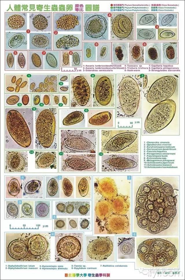人体寄生虫虫卵图片_台北医学大学精美寄生虫虫卵图-搜狐健康