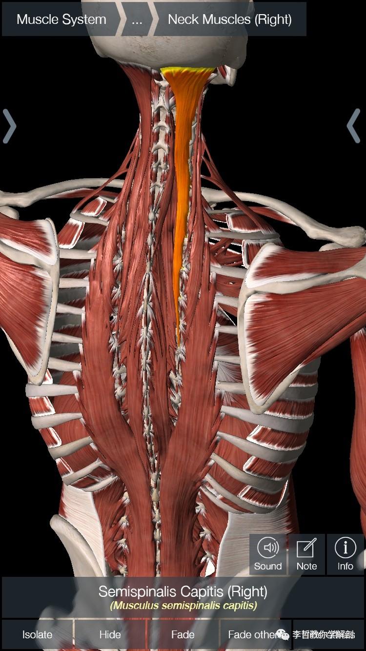 竖脊肌_学员精彩笔记(13)---第七颈椎周围的主要肌肉