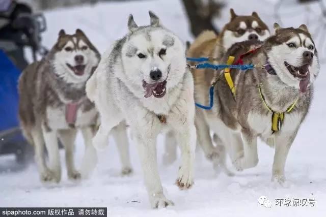 亚洲情色动物与人_奔跑吧汪星人!俄二哈拉雪橇上演速度与激情