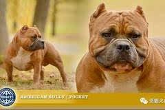 【寵物頻道惡霸在線】abkc美國國惡霸犬標準圖片