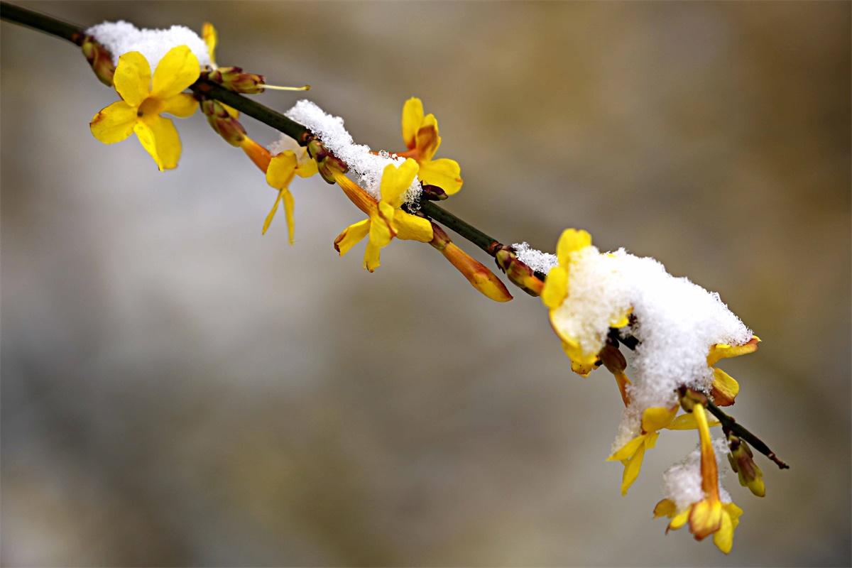 金英翠萼带春寒_迎春花——金英翠萼带春寒 黄色花中有几般?