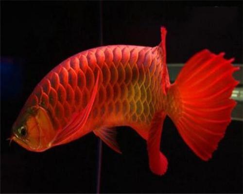 新加坡红龙鱼视频_世界上最贵的8种鱼, 最贵的鱼可以在北京买套别墅_搜狐科普_搜狐网
