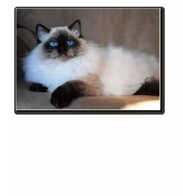熟女色撸撸色_盛世美颜布偶猫,软萌温顺易推倒,能满足你撸猫的所有