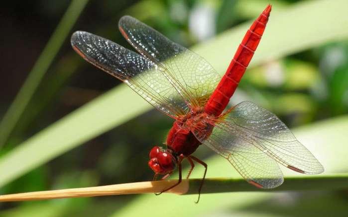 蜻蜓姬的大�_史前最大的蜻蜓 让现代的蜻蜓汗颜