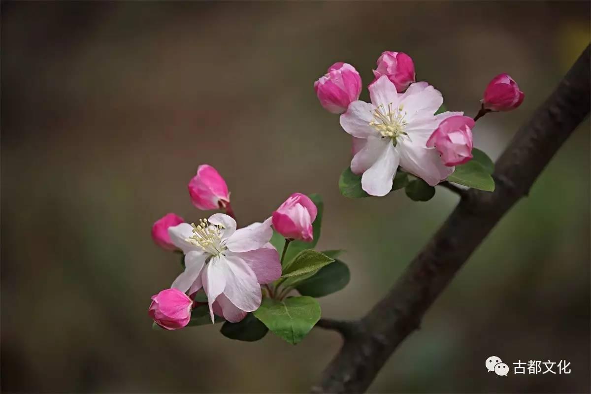 风定落花深_海棠未雨,梨花先雪——走进古人的海棠世界