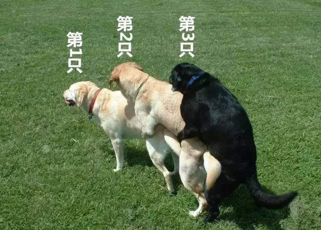 """狗猩交配视频_这篇文章可能有点""""很黄很暴力"""",但养狗狗的你一定要知道!"""