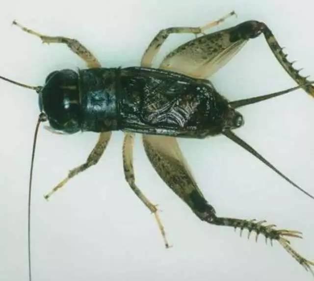 蟋蟀论坛虫王图片_蟋蟀名虫图片 _排行榜大全