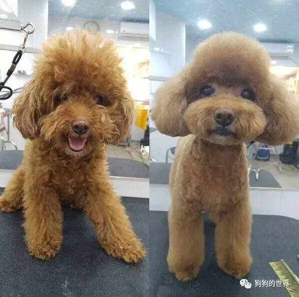 给泰迪狗修毛视频_图文丨对主人来说 给汪做个造型相当于换只狗