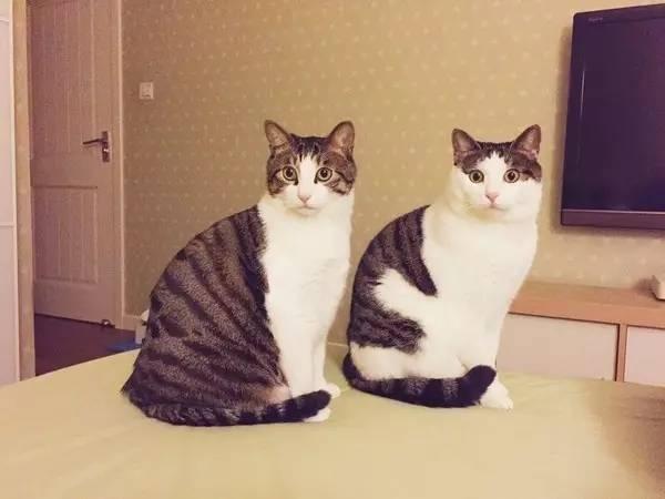 日本田园猫_田园猫的颜值可以多高?