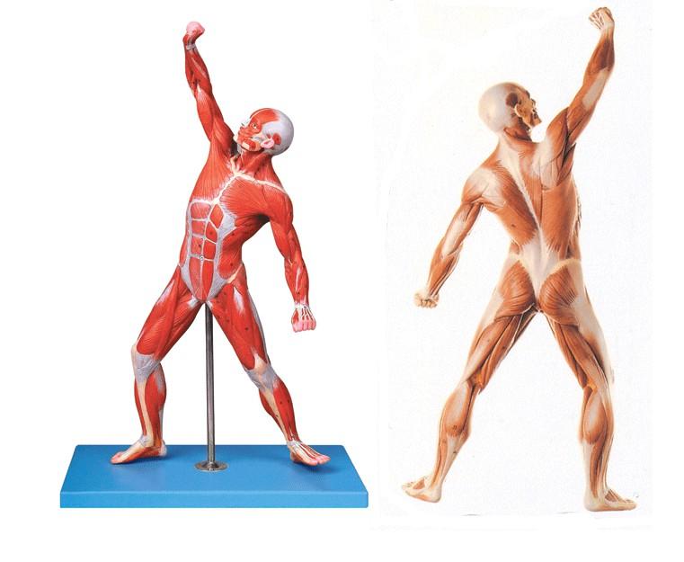 人体艺术模型_人体全身肌肉运动模型-上海宸博