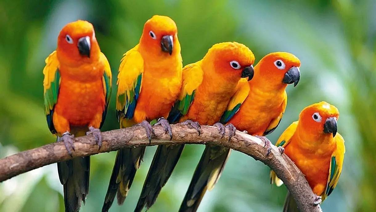 鬼馬小精靈——錐尾鸚鵡丨動物朋友