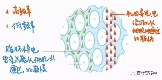 肌肉由什么组成_【西希营养】身体成分:我们是由什么组成的?